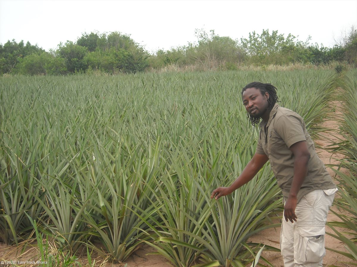 pineapple field in Ghana