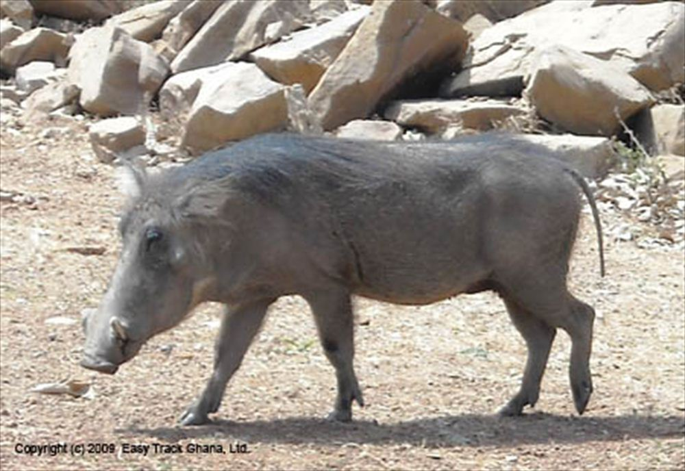 Warthog at Mole National Park in Ghana